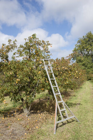 Peach trees laden with fruit and a metal ladder Stock Photo - 26725275