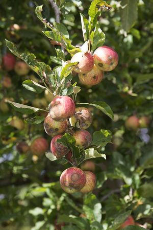 diseased: Diseased apples on a tree