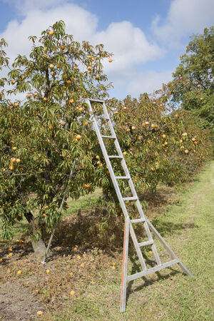laden: Peach trees laden with fruit and a metal ladder Stock Photo
