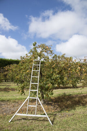 Peach trees laden with fruit and a metal ladder Stock Photo - 26725344