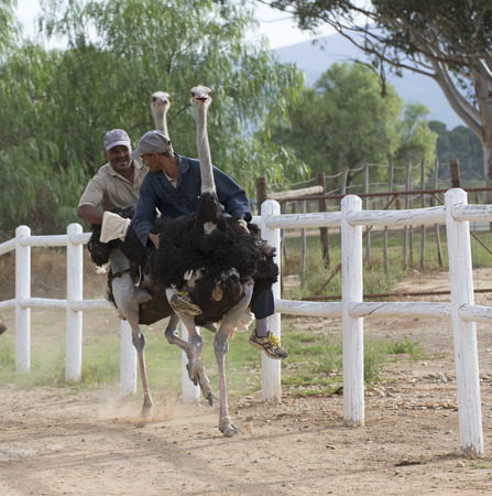 Ostrich racing at Oudtshoorn South Africa Imagens - 27267418