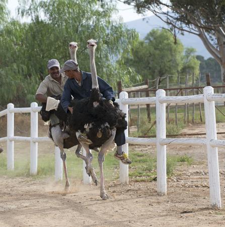 Struisvogel racen op Oudtshoorn Zuid-Afrika