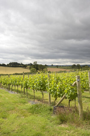 Vines on the Pebblebed Vineyard at Clyst St George near Topsham Devon England UK