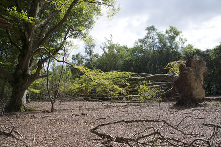 falling out: Fallen Beech tree in woodland showing the rootball Fagus silvatica