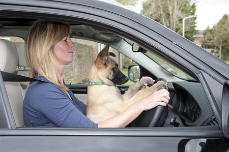 Woman driver with a puppy Belgian Shepherd dog in the driver