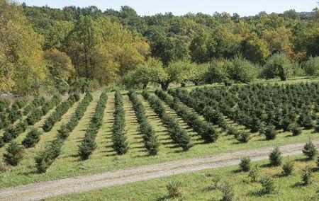 Christmas trees growing on a farm New York State USA