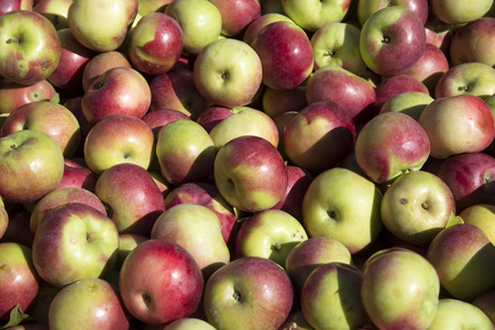 McIntosh variety apples freshly picked and boxed NY State USA