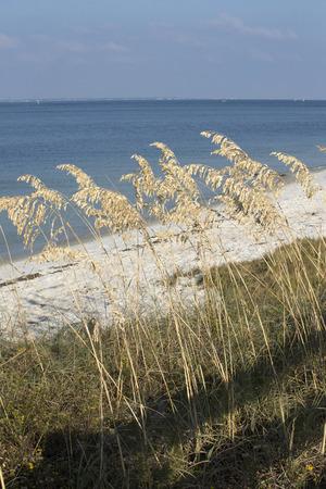 sea oats: Sea oats growing on seashore along the Gulf Coast Florida USA