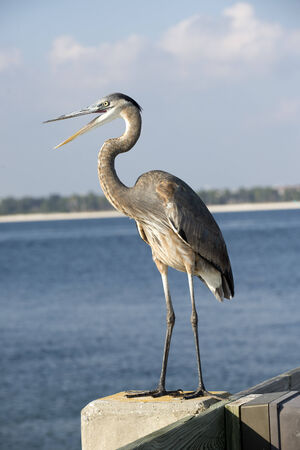 pensacola beach: Grey Blue Heron Ardea herodias  Florida USA