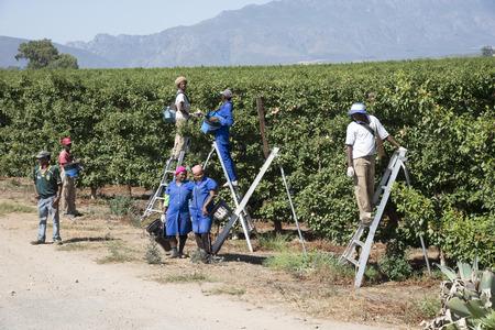 Lavoratori agricoli che raccolgono prugne in un frutteto vicino Robertson Sud Africa Archivio Fotografico - 36729832