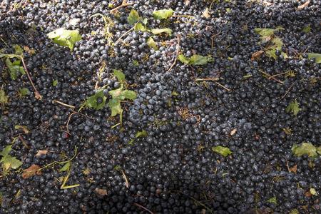 Freshly picked red grapes Zdjęcie Seryjne