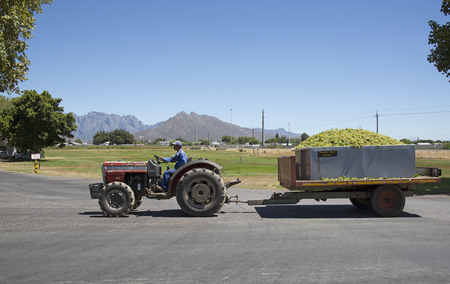 Sauvignon blanc grapes arriving at Goudini Cellar in Rawsonville Western Cape South Africa