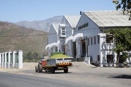 sauvignon blanc: Sauvignon blanc grapes arriving at Goudini Cellar in Rawsonville Western Cape South Africa