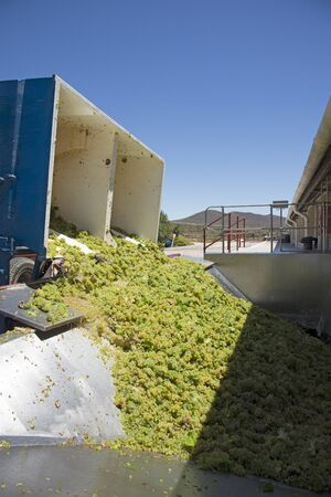 sauvignon: Grapes Sauvignon Blance variety arriving at a winery