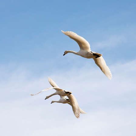 fanfare: Swans in flight