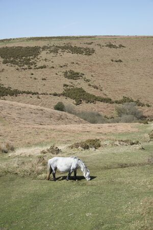 english west country: Wild pony grazing on moorland in the Dartmoor National Park Devon UK Stock Photo