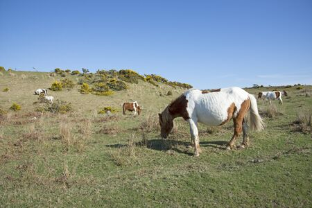 english west country: Ponies grazing on Dartmoor National Park Devon England Uk