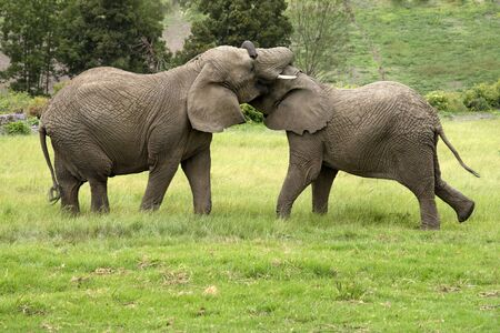 stimulate: Young wild African elephants play to keep warm on a cool day in Knysna western cape South Africa Stock Photo