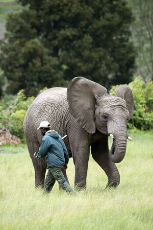 erect: Wildlife ranger with young African Elephant with ears erect Editorial