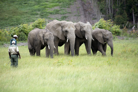 Wildlife rangers working with captive African elephants in the Western Cape South Africa Editorial