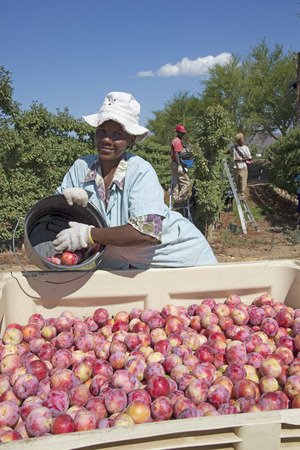 Harvesting African Delight plums at Robertson Western Cape South Africa Stock Photo - 41051814