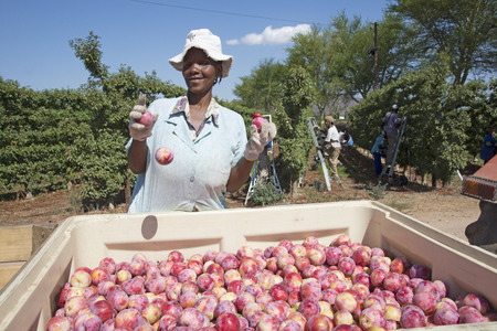 Harvesting African Delight plums at Robertson Western Cape South Africa Editoriali