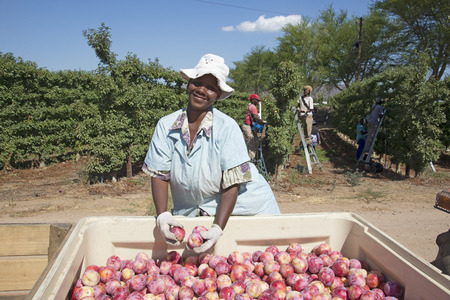 agricultural: Harvesting African Delight plums at Robertson Western Cape South Africa Editorial