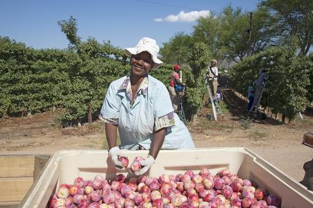 Prugne raccolta africana Delight a Robertson Western Cape Sud Africa Archivio Fotografico - 41106155
