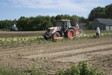 long island: Farm workers laying straw as a mulch for young tomato plants Long Island USA