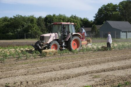 mulch: Farm workers laying straw as a mulch for young tomato plants at Long Island USA