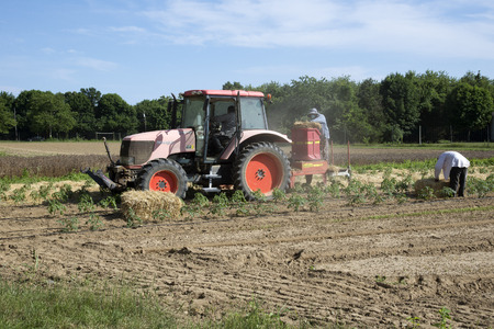 long island: Farm workers laying straw as a mulch for young tomato plants at Long Island USA