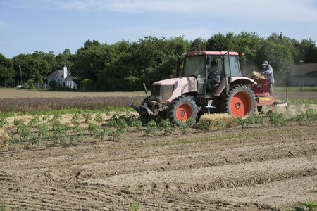 mulch: Farm workers laying straw as a mulch for young tomato plants at Long Island, USA