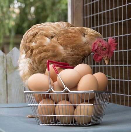 warren: A Warren Chicken and clutch of fresh eggs in a wire basket