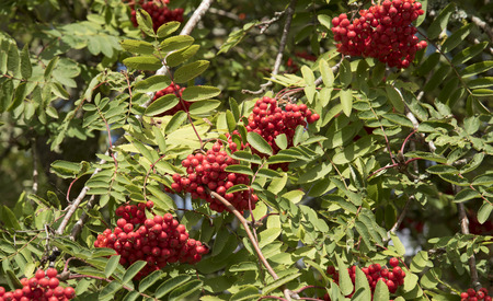 aucuparia: Mountain Ash tree Sorbus aucuparia with berries