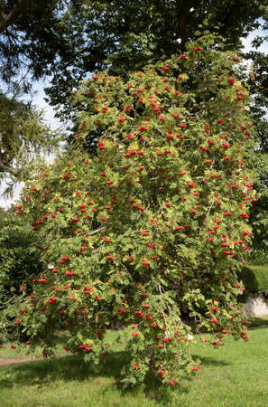 sorbus aucuparia: Mountain Ash tree Sorbus aucuparia with berries