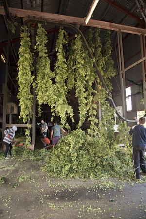 hop hops: Worker loading freshly picked Bramling Cross variety hops onto a moving line for processing at a hop garden in Sandhurst Kent England UK.