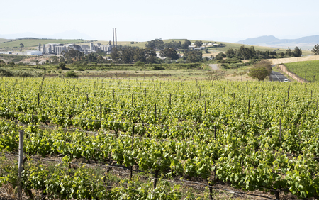spoiling: A cement manufacturing plant on the skyline and overlooking the vineyards at Riebeek West in the Swartland region of South Africa