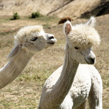 Young Alpacas that have been shorn grazing in the western Cape South Africa