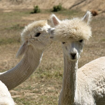 vicugna pacos: Young Alpacas that have been shorn grazing in the western Cape South Africa