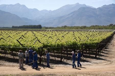 Arbeiter binden Reben im Bergrivier Region im Frühling. Südafrika Standard-Bild - 47385803