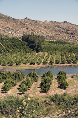 foothills: Citrus fruit growing in the foothills of the Cedarberg Mountains South Africa