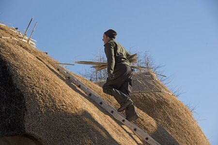 roof ridge: Thatcher walking on a ladder with hazel wood spars to form the ridge of a thatched roof