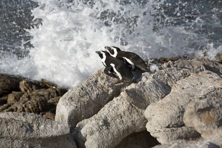 ocea: African penguins at Bettys Bay in the Western Cape South Africa Stock Photo