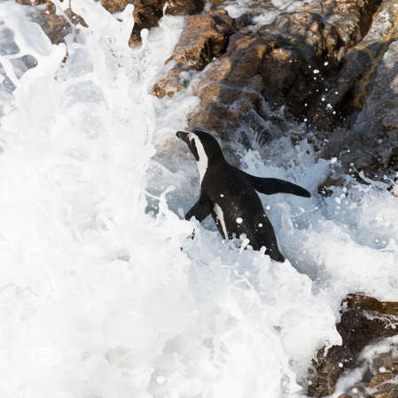 ocea: African penguin going for a swim at Bettys Bay in the Western Cape South Africa Stock Photo
