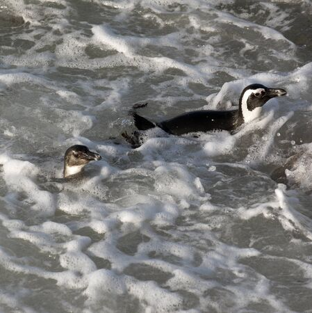 ocea: African penguins swimming at Bettys Bay in the Western Cape South Africa