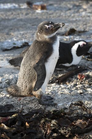 ocea: Young African penguin at Bettys Bay in the Western Cape South Africa