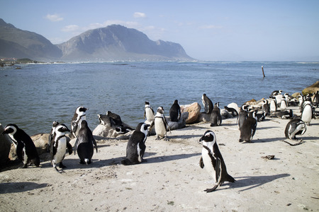 jackass: BETTYS BAY WESTERN CAPE SOUTH AFRICA - APRIL-2016 - A colony of African penguins on the coast at Bettys Bay. They are also known as Jackass penguins