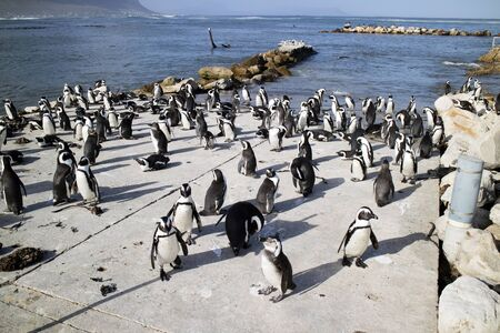 south african birds: BETTYS BAY WESTERN CAPE SOUTH AFRICA - APRIL-2016 - A colony of African penguins on the coast at Bettys Bay. They are also known as Jackass penguins