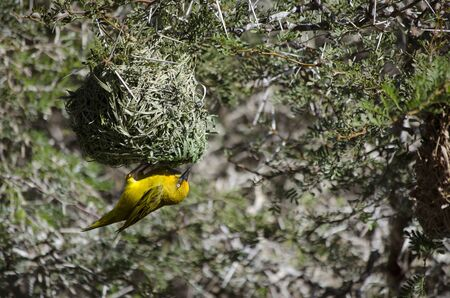 weaver bird nest: South African Weaver bird hanging upside down making a nest