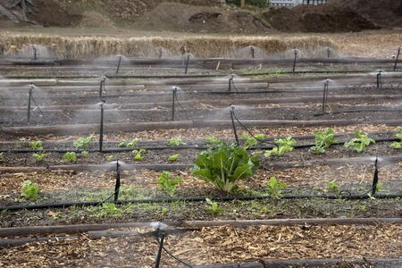 southern africa: Irrigating spinach growing in seed beds in Southern Africa Stock Photo